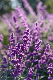 Фиолетовый лаванды макрофотография фон