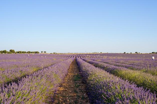 紫色のラベンダー畑