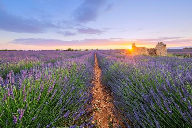 日没時にヴァロンソルに提出された紫色のラベンダー。フランス。