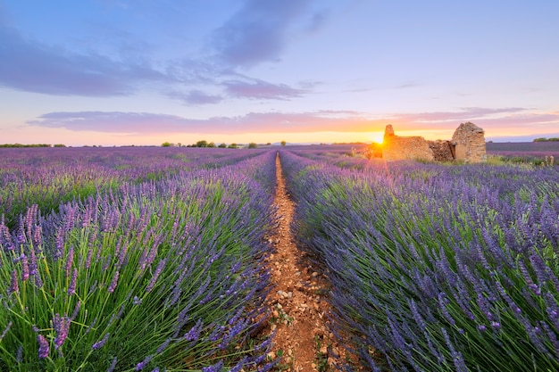 Purple lavender filed in valensole at sunset. france.