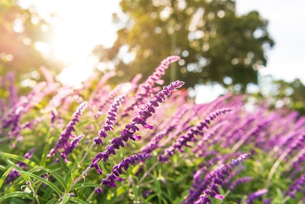 紫のラベンダーの花が満開 Premium写真