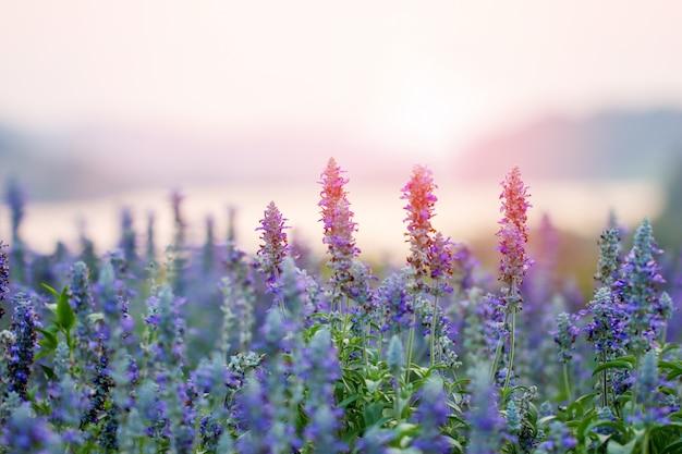 Фиолетовые цветы лаванды в поле