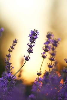 紫のラベンダーの花の夕日