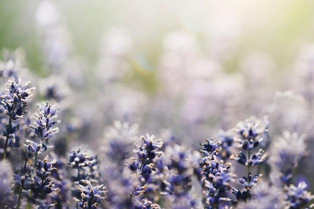 フィールドの背景に紫のラベンダー