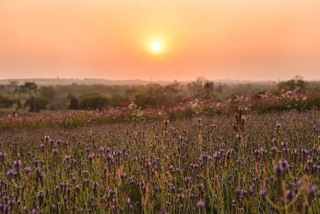 보라색 라벤더 또는 스페인어 눈 라벤더 태국에서 일몰에 신청.