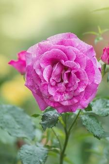 庭の紫色のラベンダーバラの花