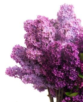 Фиолетовые свежие цветы сирени, изолированные на белом фоне