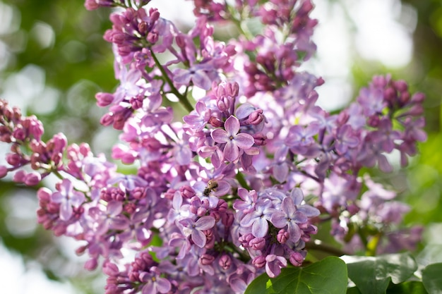 Purple lilac outdoors