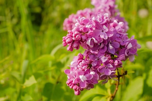 Пурпурно-сиреневый с белыми краями. ощущение сиреневого цвета. красивый букет фиолетовых цветов крупным планом. цветущий сортовой отбор двухцветной сирени syringa. вид сенсации