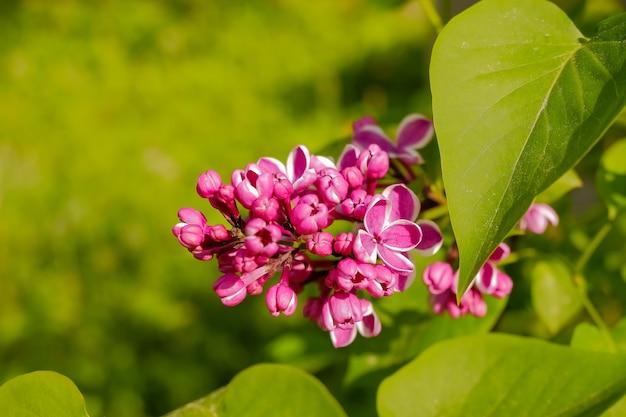 白い縁の紫色のライラック。センセーションライラック。紫色の花のクローズアップの美しい束。咲く品種の選択ツートンライラックシリンガ