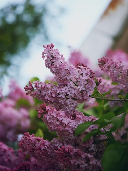 Фиолетовые цветы сирени на ветвях деревьев крупным планом