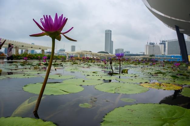 싱가포르 도심의 인공 연못에 있는 보라색 백합 꽃