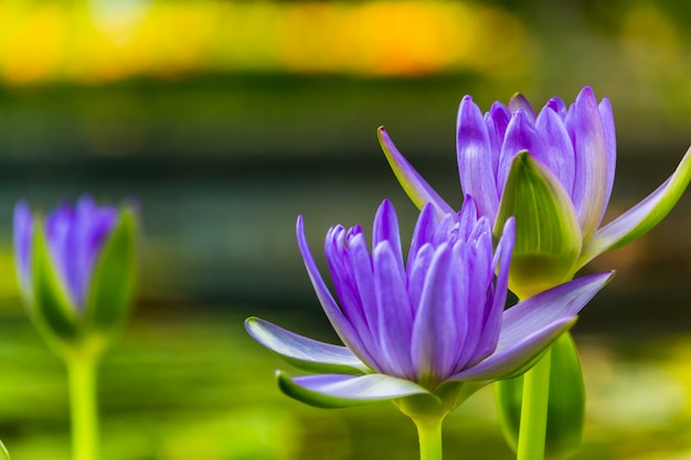 Purple lotus as spark for the background bokeh flowers for the worship of god in the days of religion.