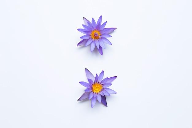 Purple lotus flower blooming on white