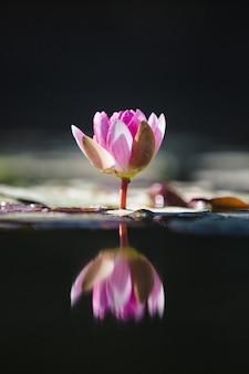 水に紫色の蓮の花