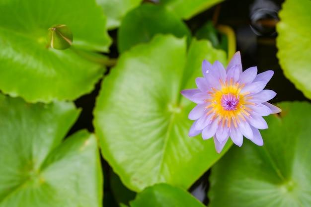 Фиолетовый цветок лотоса раскрылся на пруду с желтым центром и зеленым листом вокруг