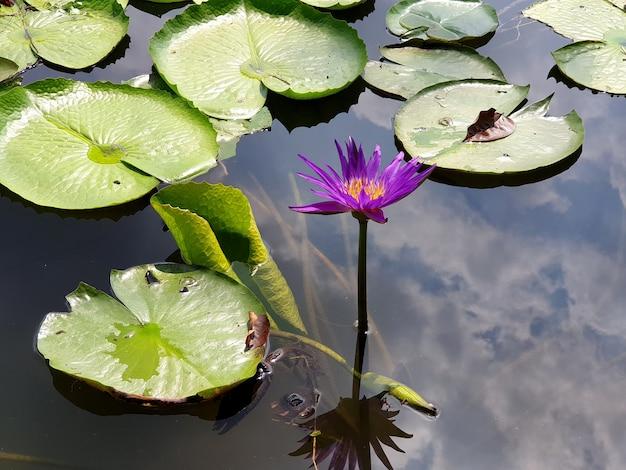 空に雲の反射と紫色の蓮の花