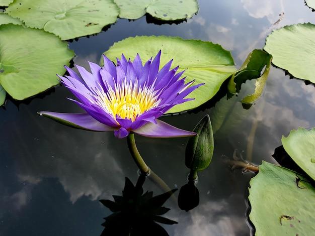 空の雲の水の反射と紫色の蓮の花