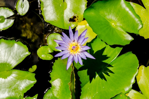 Purple lotus flowers in the pond on green background