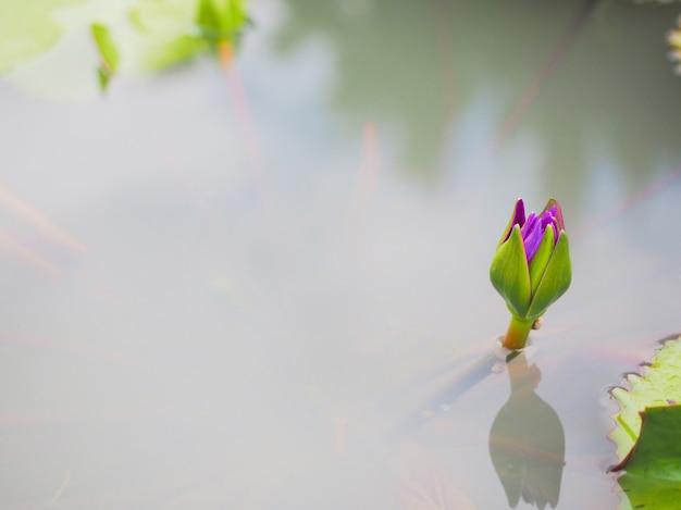 紫の蓮または水の花