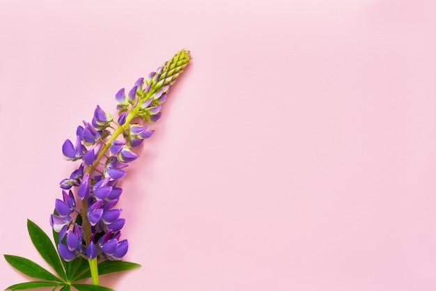 Фиолетовый цветок люпина на розовом фоне. вид сверху, копировать пространство