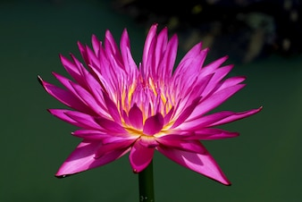 Purple Magenta Lotus flower or Nymphaea nouchali or Nymphaea stellata is a water lily.