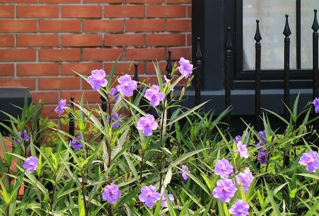 Фиолетовая мексиканская петуния или простая руэллия на фоне кирпичной стены