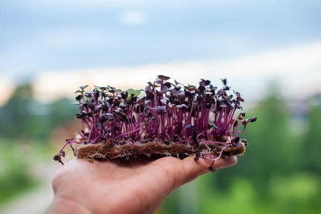 당신의 손에 보라색 초소형 무우 싹. 집에서 클로즈업으로 무나 바질 새싹을 키우고 있습니다. 완전 채식과 건강 식품의 개념입니다. 발아 씨앗, 마이크로 그린