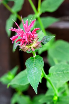 Purple monarda (monarda didyma) flower closeup