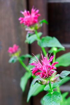 紫色のモナルダ(モナルダディディマ)花のクローズアップ