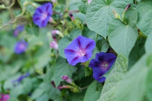 Purple morning glory flowers bloom in the garden.
