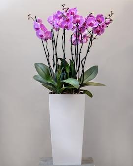 紫蛾の蘭、白い鍋に胡蝶蘭