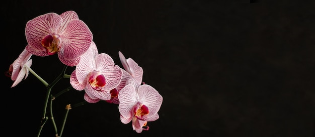 Purple orchid on a black background stock images with copy space for text. banner for spa salon.