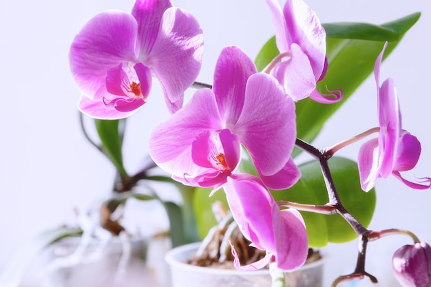 Purple orchid bloom flower.exotic houseplant blossom.