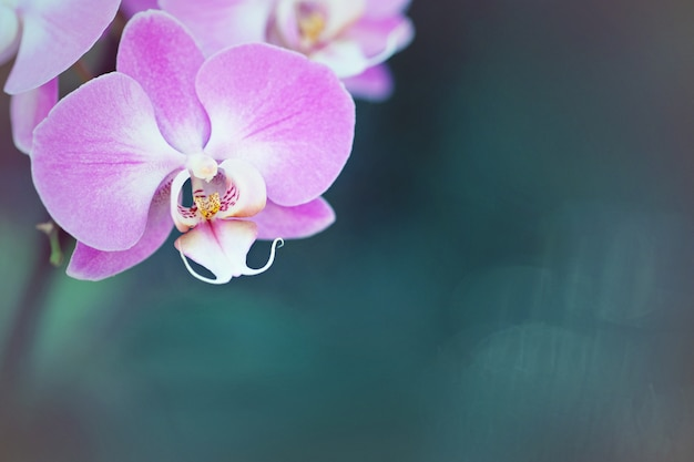 Purple orchid flower close up, botanical background