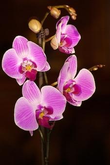 Фиолетовый цветок орхидеи крупным планом