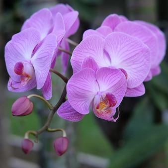 보라색 난초 꽃 호 접 또는 falah 나비 난초로 알려진 오른쪽에 보라색 호 접 꽃