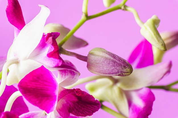 Purple orchid flower on pink background; indoor.