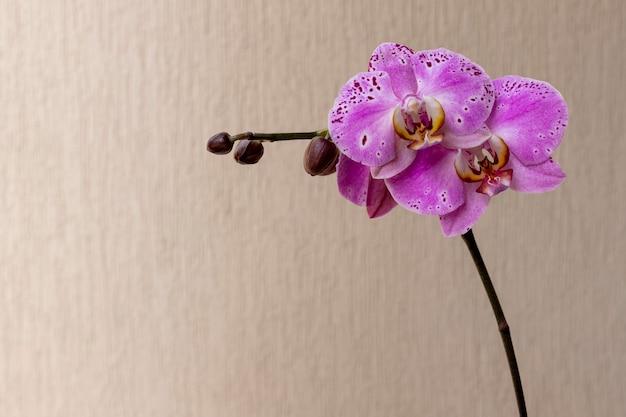 꽃봉오리와 텍스트를 위한 공간이 있는 보라색 난초 꽃