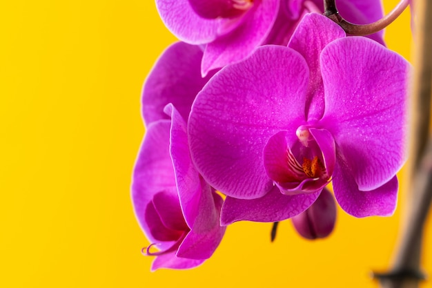 Purple orchid flowers on bright yellow background close up