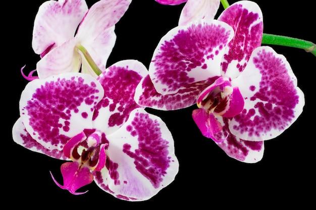 黒の背景に分離された紫色の蘭