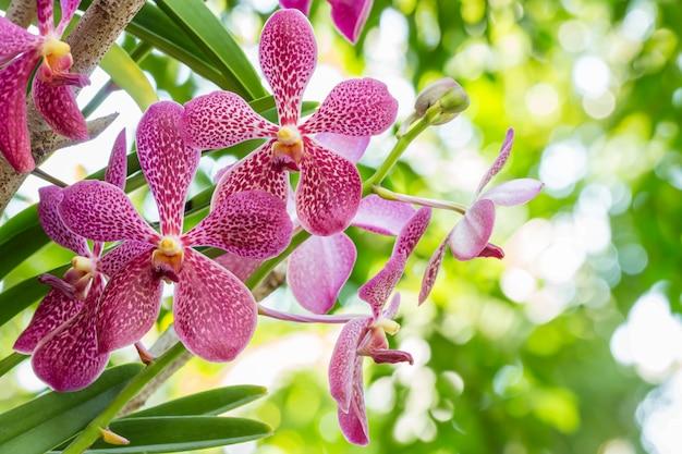 Purple orchid, mokara.