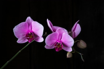 Purple orchid on black background, space for text. Valentine's day. Valentine. Mother's day. Spa