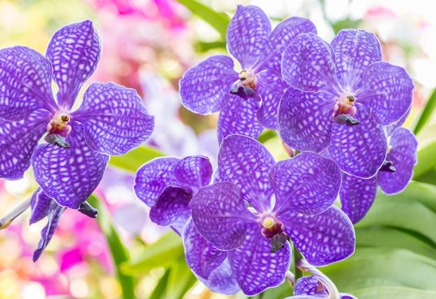 Purple orchid, vanda.