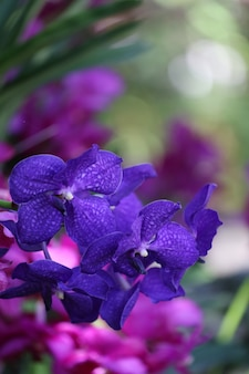 Purple orchids are blooming in the flower garden.