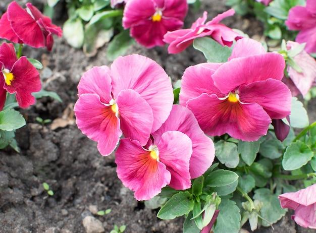 紫のパンジーまたはビオラの花の花壇