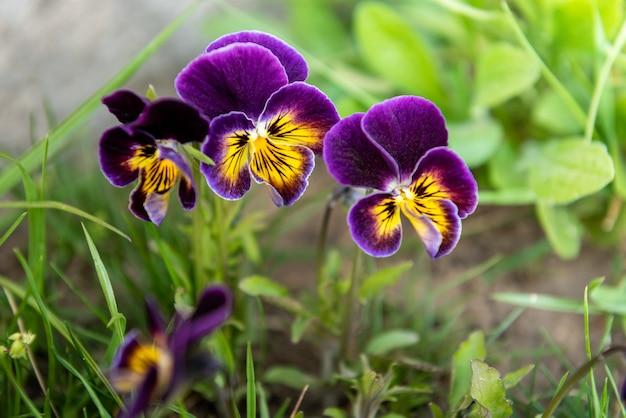 春の庭で育つ紫色のパンジー。
