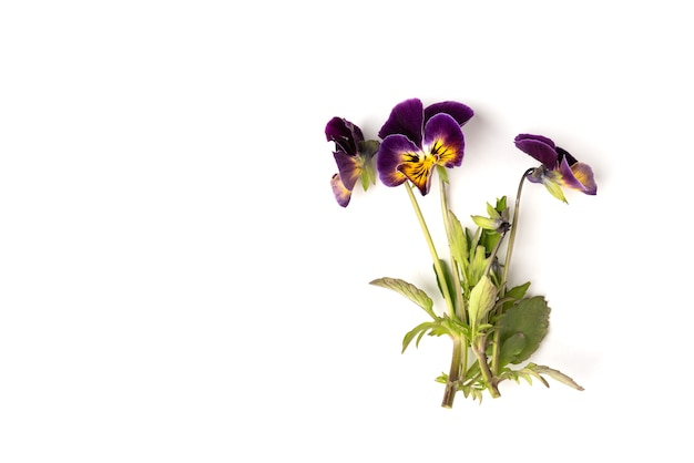 白に分離された紫のパンジー