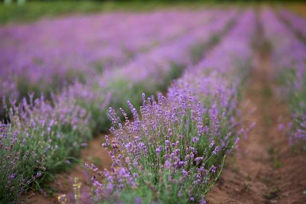 Purple patches in blooming lavender field