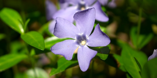 Фиолетовый цветок барвинка на зеленом фоне в лесу.